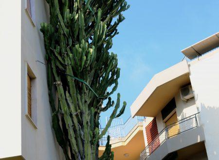 Bordighera (IM): un'Euphorbia Eritrea in Corso Europa